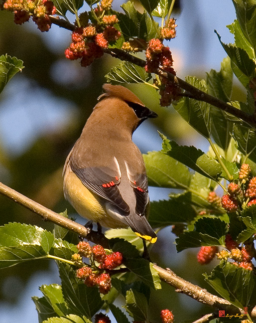 Waxwing Photographs