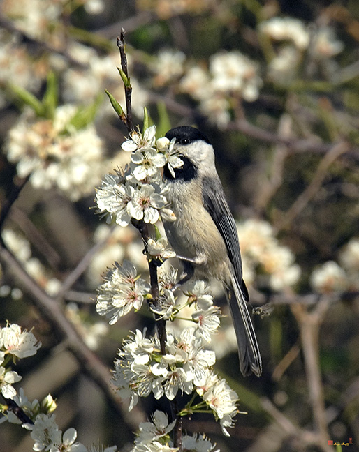 Chickadees and Titmice Photographs