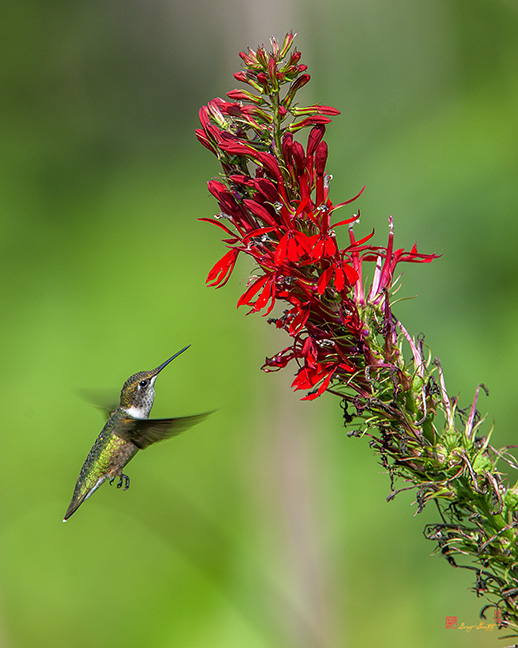 Ruby-throated Hummingbird Photograph