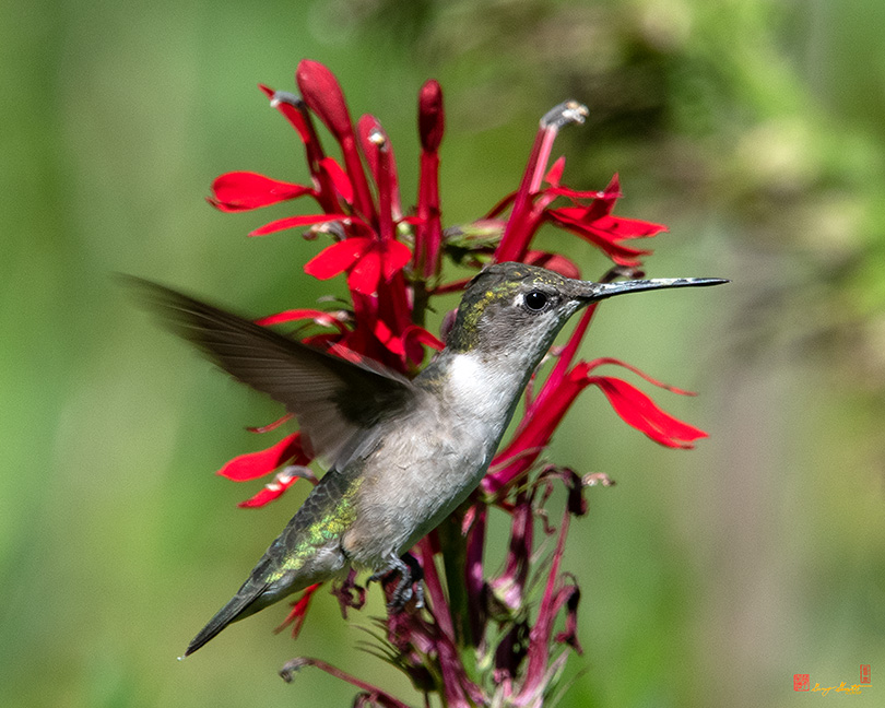 Ruby-throated Hummingbird Photographs