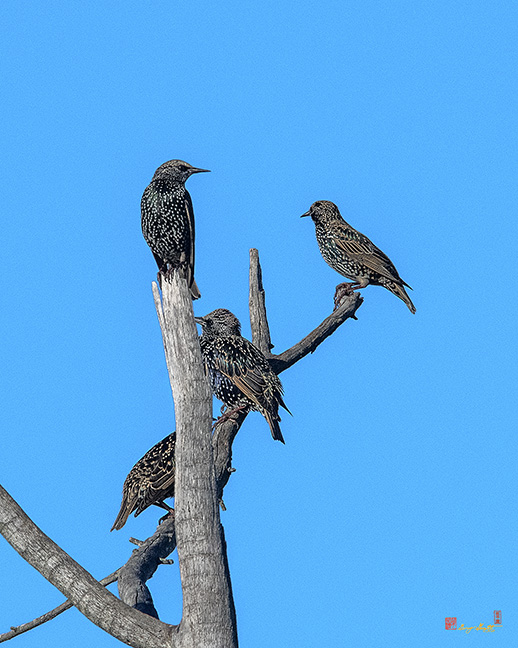 Starlings Photographs