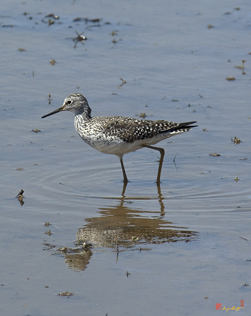 Lesser Yellowlegs Sandpiper Photograph