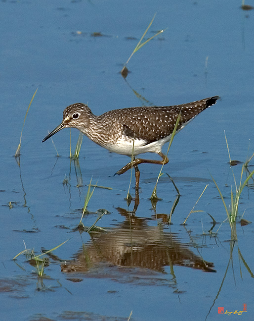 Solitary Sandpiper Photographs
