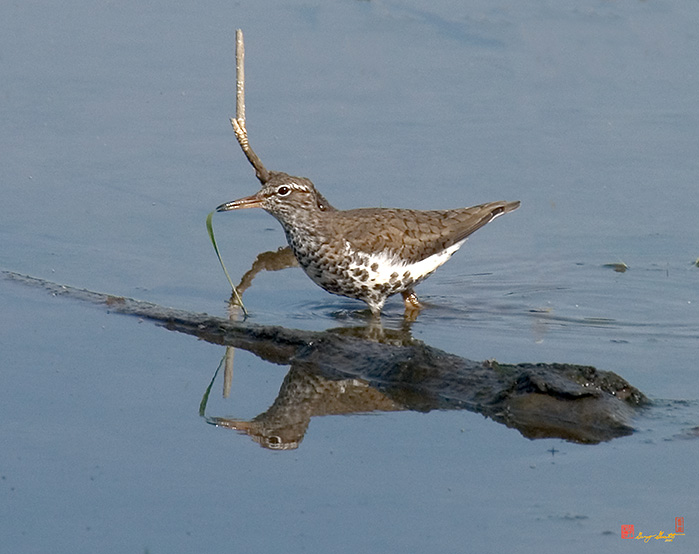Spotted Sandpiper Photographs