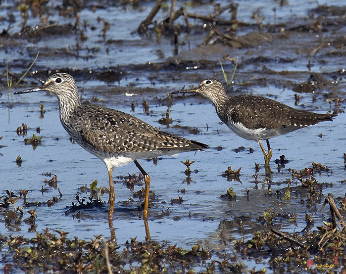 Greater Yellowlegs and Solitary Sandpipers Photograph