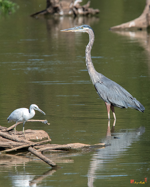 Little Blue Heron with a Great Blue Heron Photograph