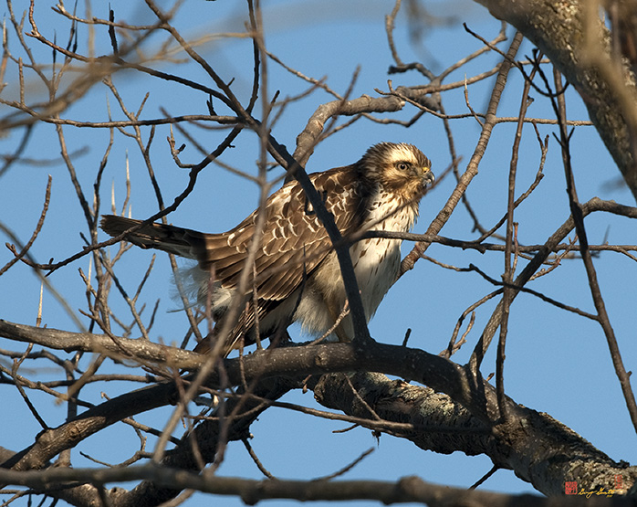 Immature Red-shouldered Hawk Photograph