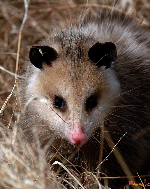 Virginia Opossum Photograph