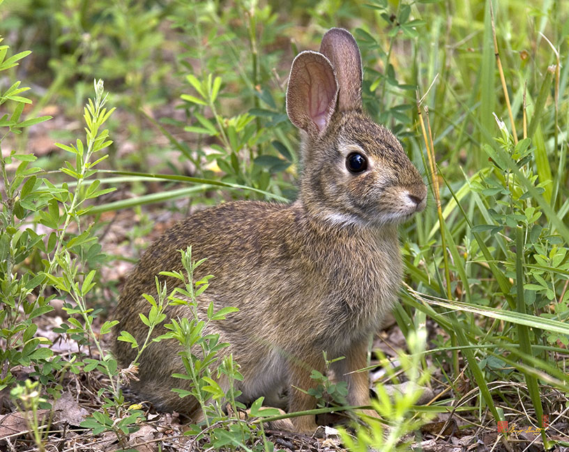 Eastern Cottontail Rabbit Photograph