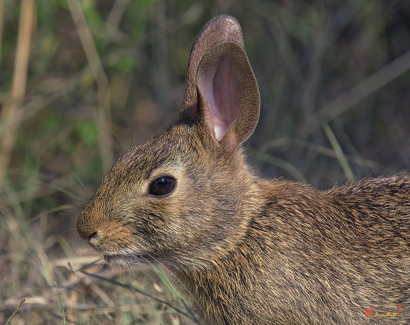 Eastern Cottontail Photograph
