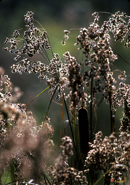 Rushes and Cattails Photograph