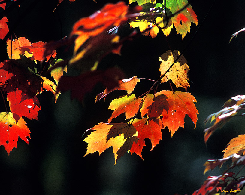 Maple Leaves in October Photographs