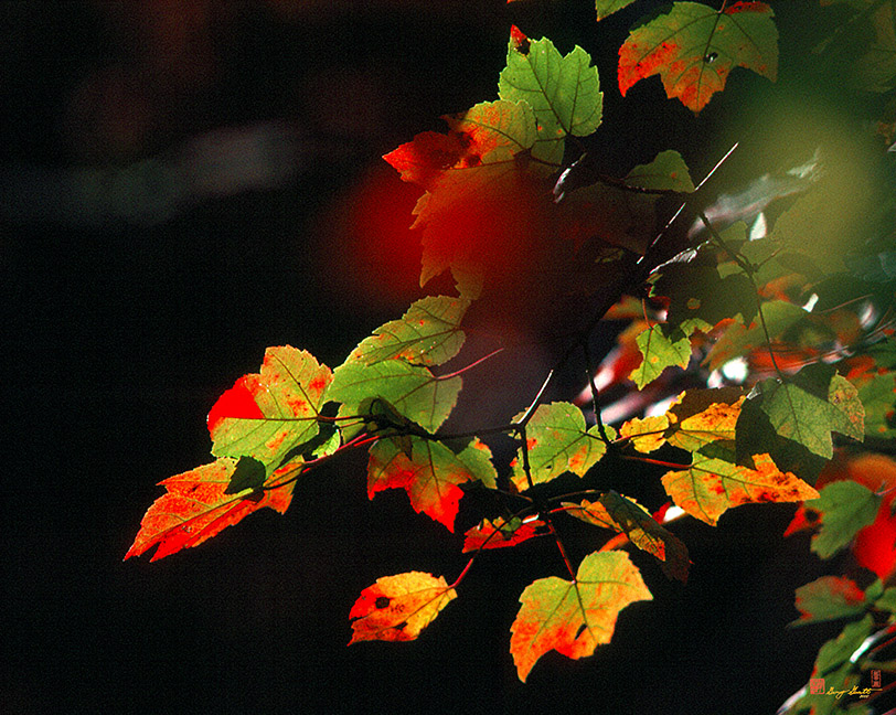 Maple Leaves Photograph