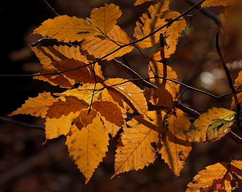 American Beech Leaves Photographs