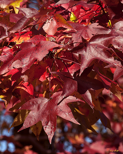 Fall Sweetgum Leaves