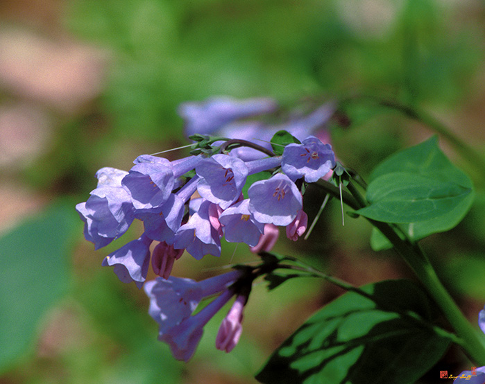 Pink Virginia Bluebells Photograph