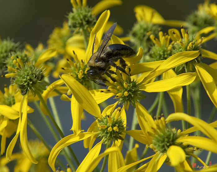 Wingstem Flowers Photograph