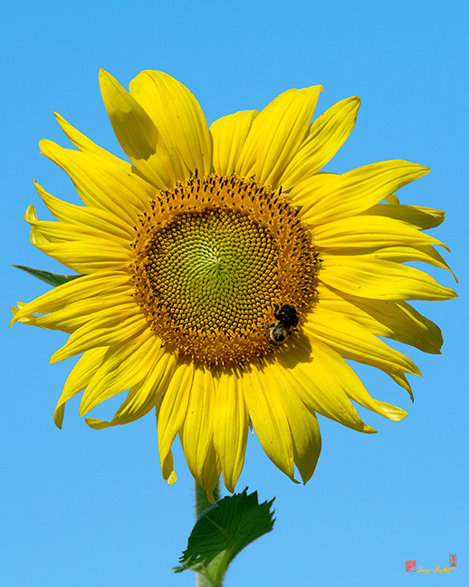 Common Sunflower with Bumblebee Photograph