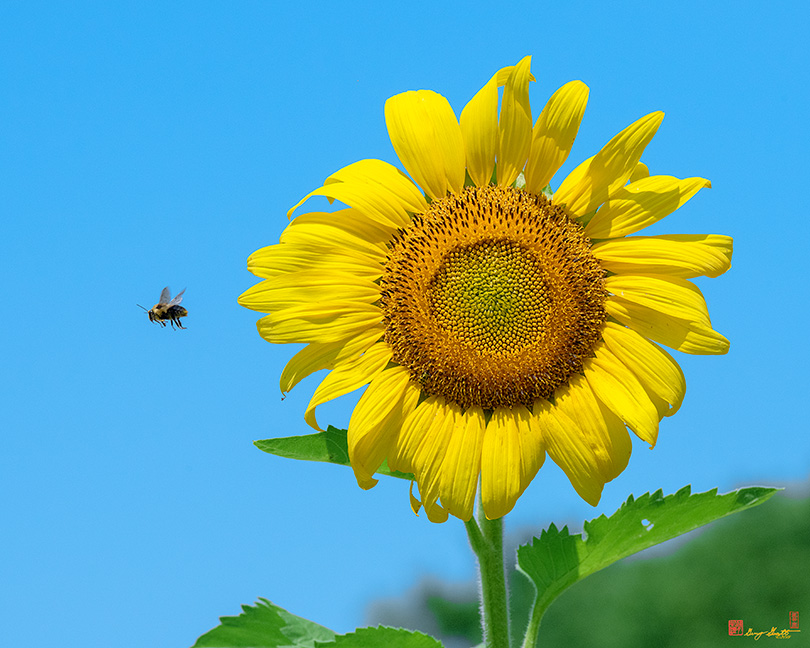 Common Sunflower with Departing Bumblebee Photograph