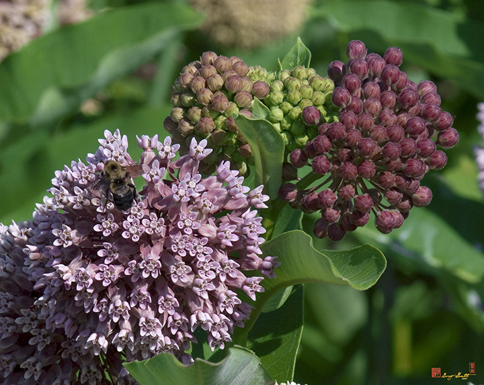 Common Milkweed Flowers Asclepias syriaca Photograph