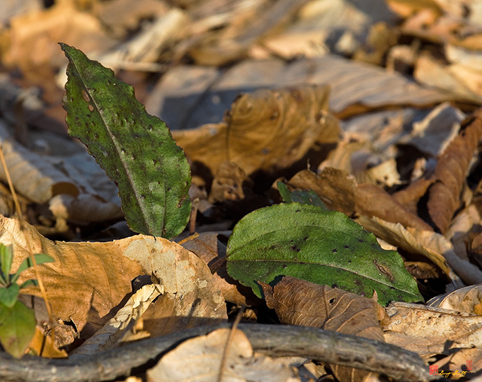 Crane-fly Orchid Leaves