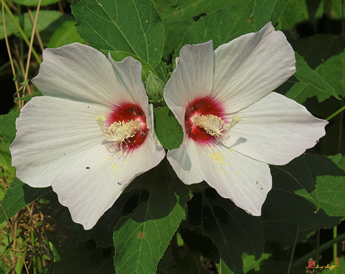 Crimson-eyed Rosemallow Photograph