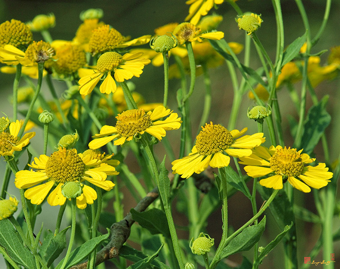 Sneezeweed Flowers Photograph