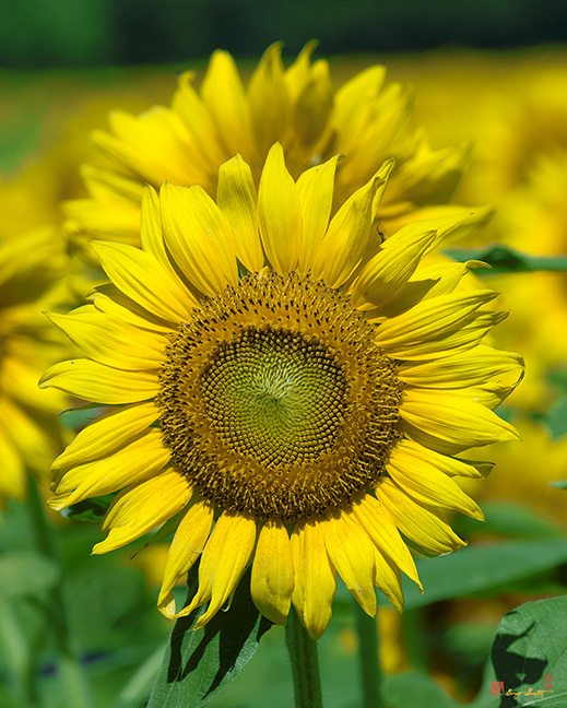 Common Sunflowers Photograph