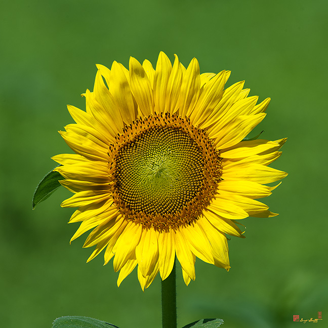 Common Sunflowers Photographs