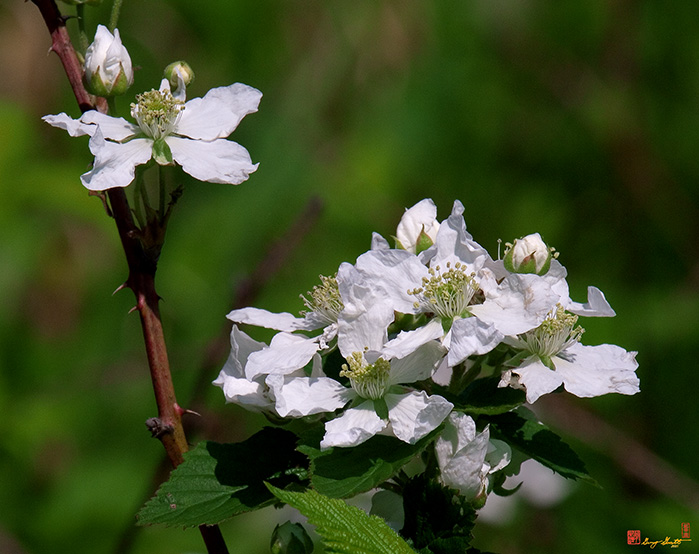 Allegheny Blackberry or Common Blackberry Photograph