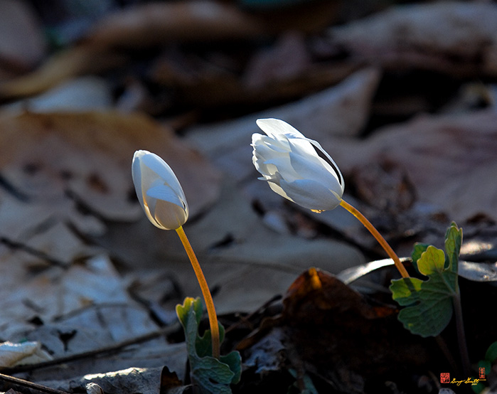 Bloodroot Flowers Closed for the Night Photograph