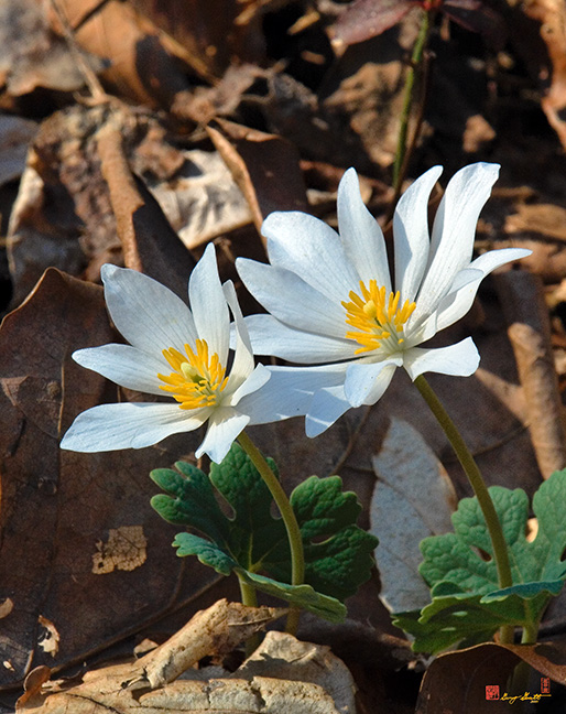 Bloodroot Photographs