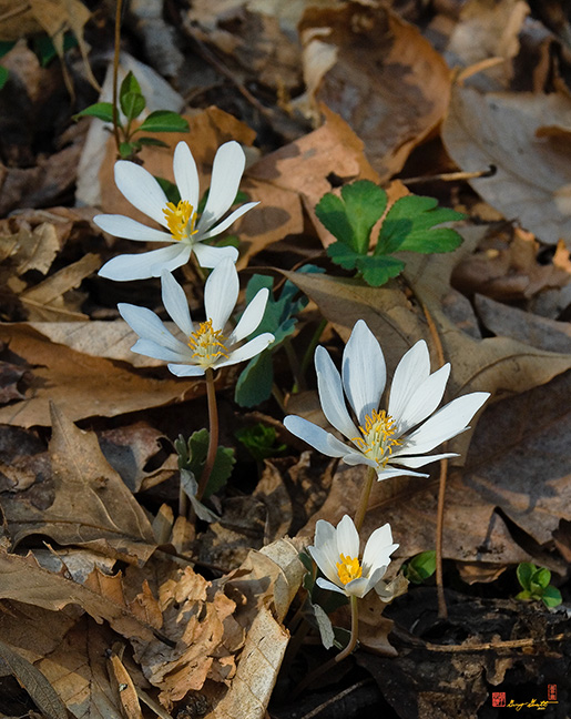 Bloodroot Flowers Photograph