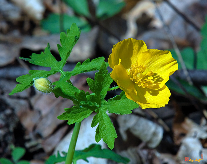 Wood Poppy Flower