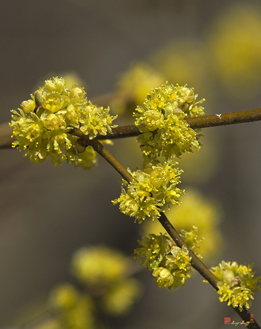 Spicebush Flowers Photograph