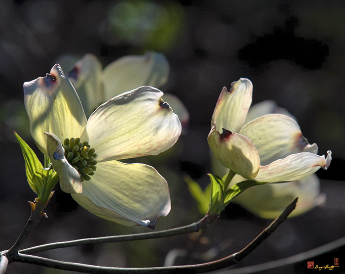 Flowering Dogwood Photograph