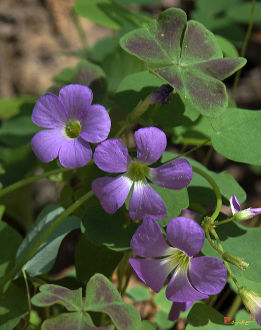 Violet Wood Sorrel Flowers Photograph