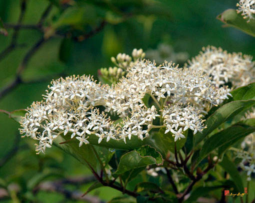 Roughleaf Dogwood Flowers Photograph