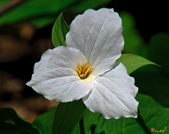 Large-flower Trillium Photograph