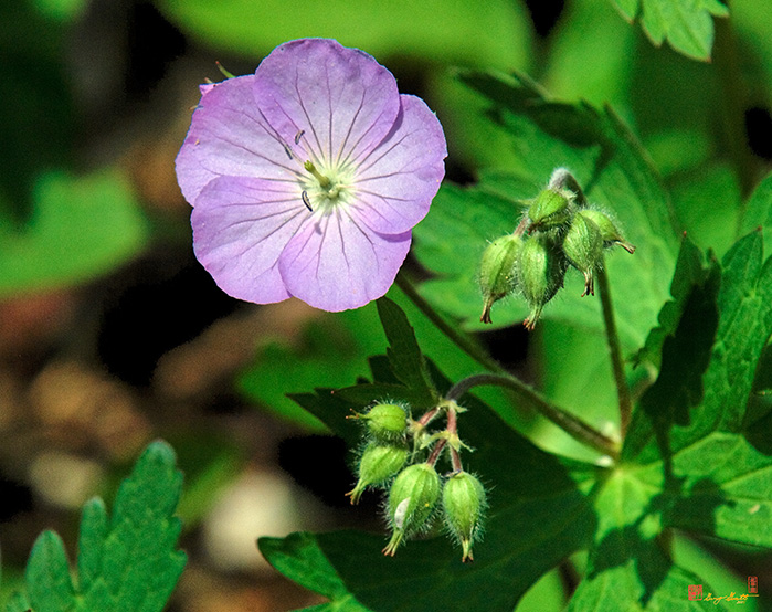 Wild Geranium or Spotted Cranesbill Photograph