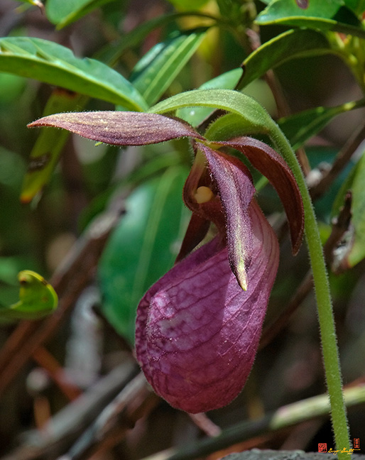 Pink Lady's Slipper Orchid Photograph