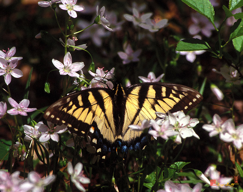 Eastern Tiger Swallowtail on Spring Beauty