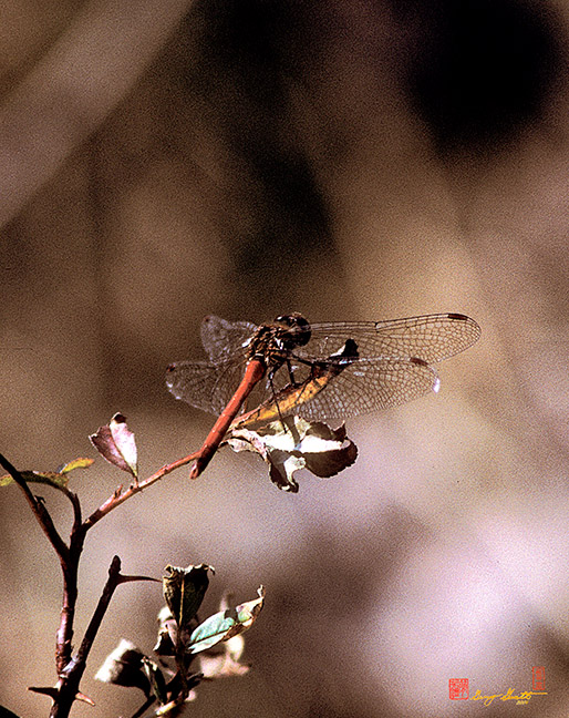 Ruby Meadowhawk Dragonfly Photograph