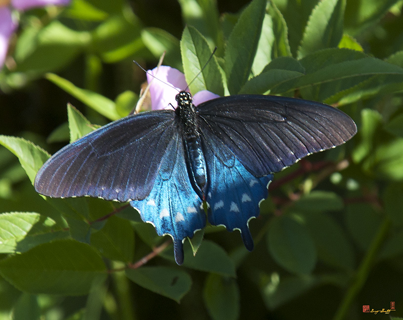 Pipevine Swallowtails Photographs