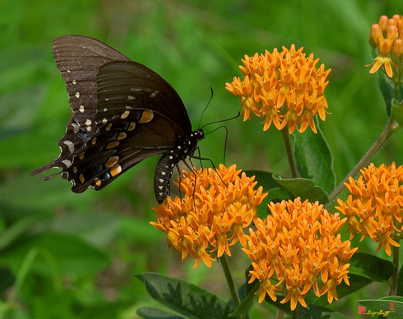 Black Swallowtail Visiting Butterfly Weed Photograph