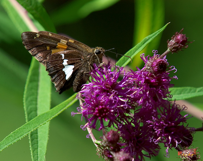 Silver-spotted Skipper Photograph