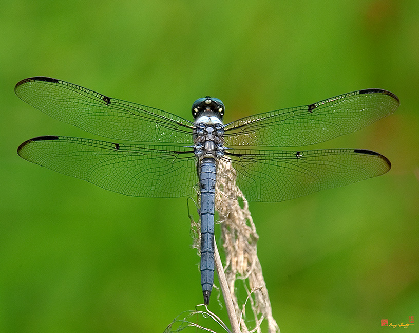 Great Blue Skimmer Dragonfly Photograph