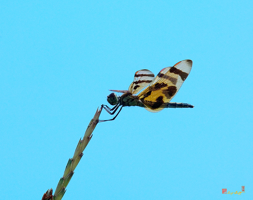 Halloween Pennant Dragonfly Photograph