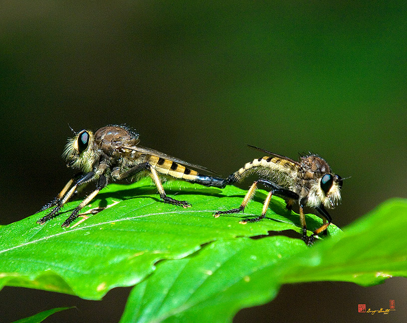 Red-footed Cannibalflies or Bee Panther Robber Flies Photographs