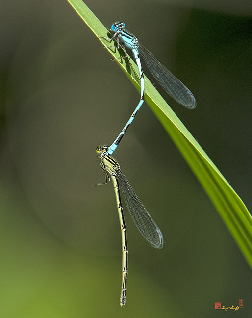 Blue-tipped Dancer Damselflies Photograph
